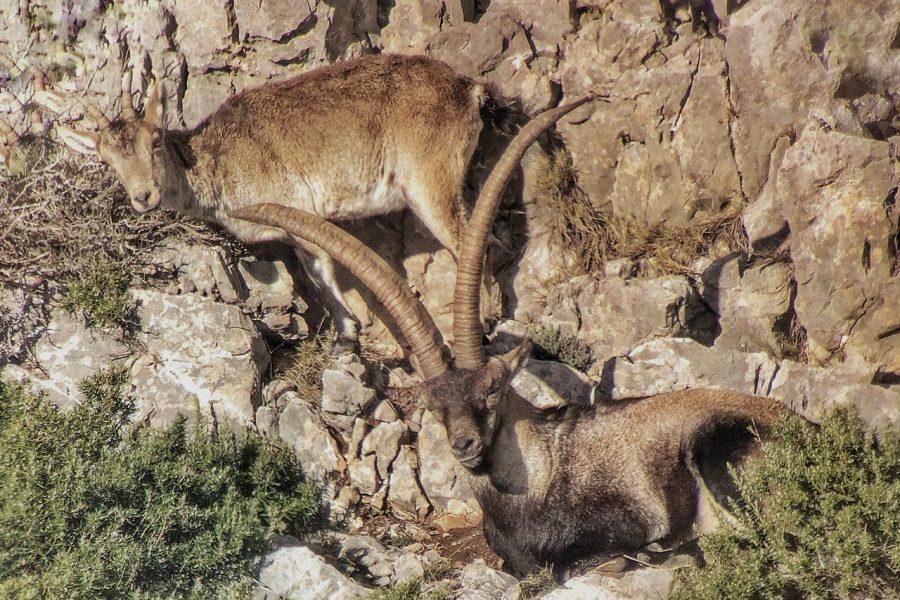 Beceite Spanish Ibex