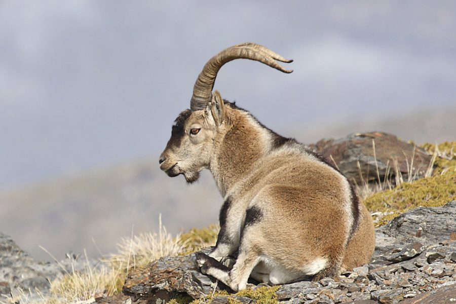 Ronda Spanish Ibex